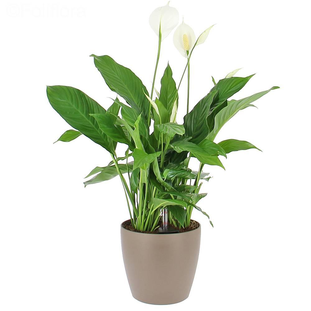 livraison spathiphyllum en bac a reserve d eau la plante bac lechuza taupe plante de bureau foliflora