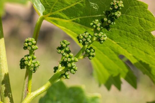 5 preguntas básicas para entender el mundo del vino - grapes-801010_1920