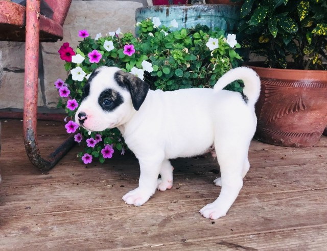 american bulldog puppies for sale | cumby, tx #307305