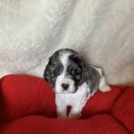 American Cocker Spaniel Puppies For Sale Jonesboro Ar 321748
