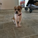 Beagle Puppies For Sale Jacksonville Nc 329563