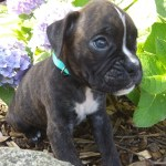 Boxer Puppies For Sale Plymouth In 304882 Petzlover