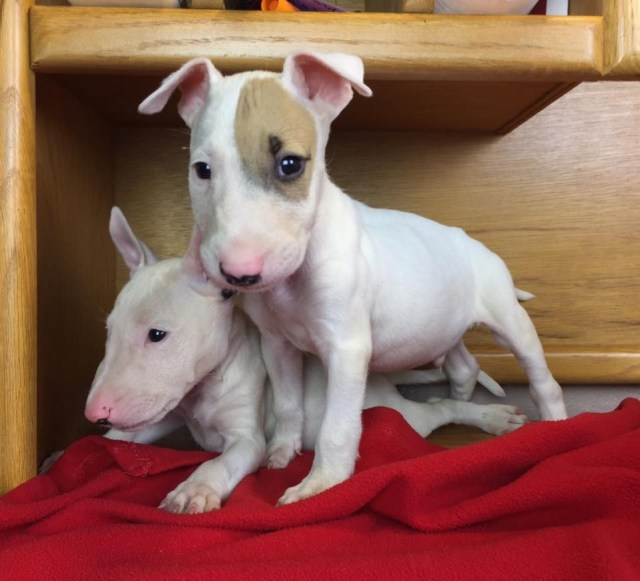 bull terrier puppies for sale | los angeles, ca #309576