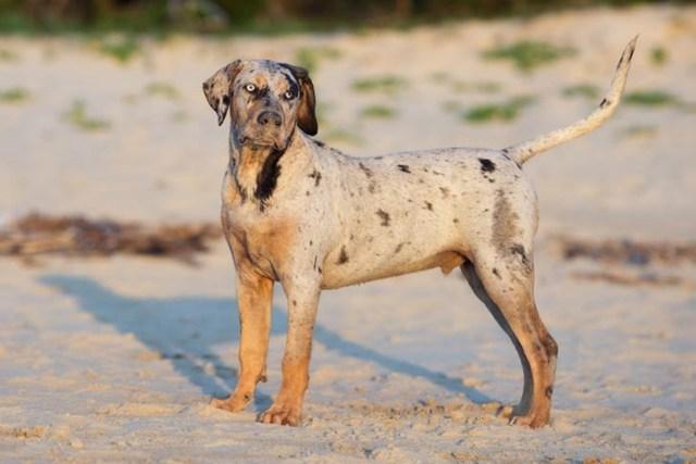 Catahoula Mountain Dog