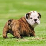 Australian Bulldog Vs English Bulldog Breed Comparison