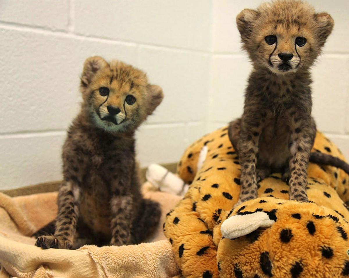 Fennec Fox Animals For Sale