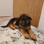 German Shepherd Puppies For Sale Portland Or 315004