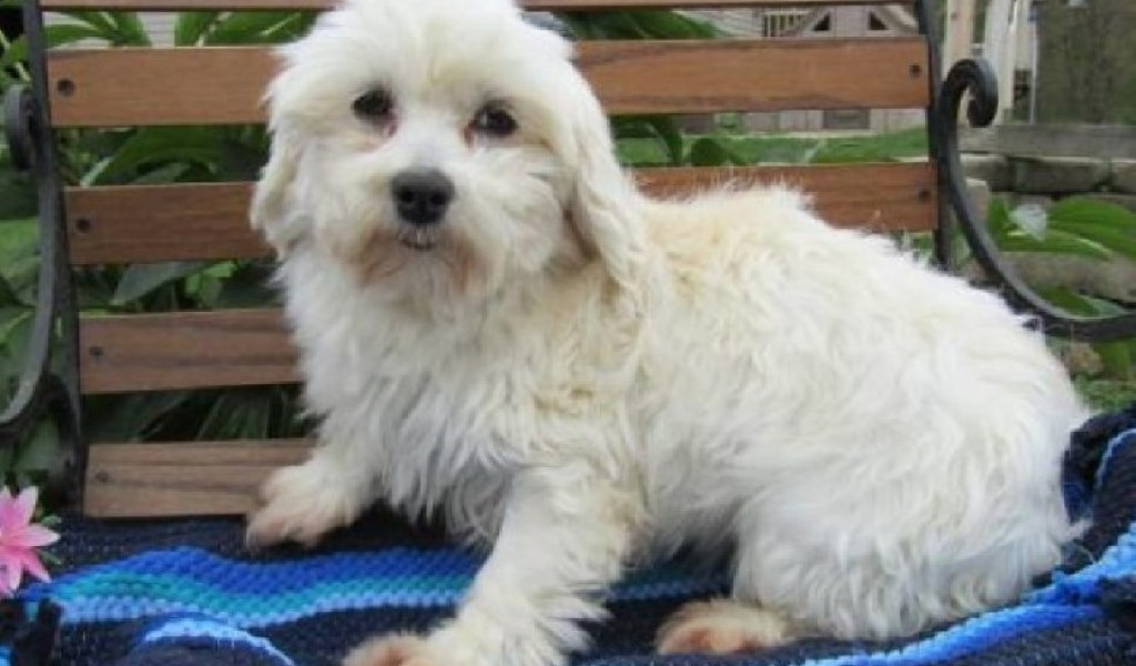 Maltese Puppies Ohio - Pets and Animals Paradise