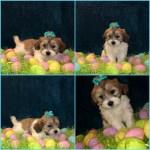 Shih Tzu Puppies For Sale Chicago Il 294575 Petzlover