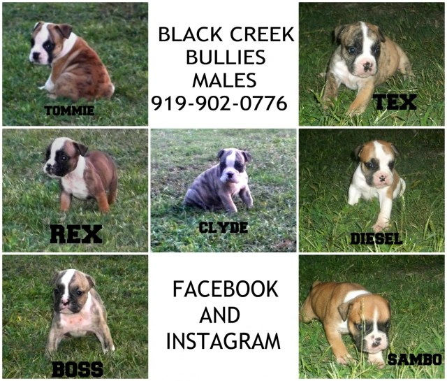 valley bulldog puppies for sale | coats, nc #240538