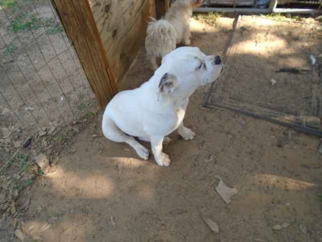 valley bulldog puppies for sale | four oaks, nc #301502