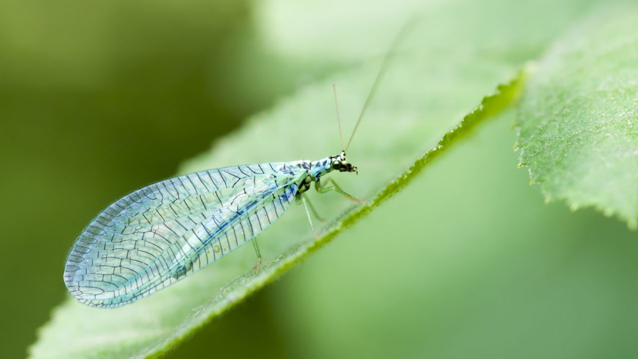 Lacewings Your Pest Control Heroes In The Garden