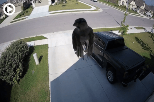 Levitating Bird or Camera's Frame Rate Perfectly Synced With Bird's Wings