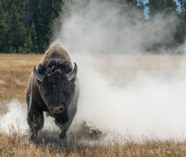 Wildlife Photography Turns Scary When Bison Charges At Photographer In Yellowstone