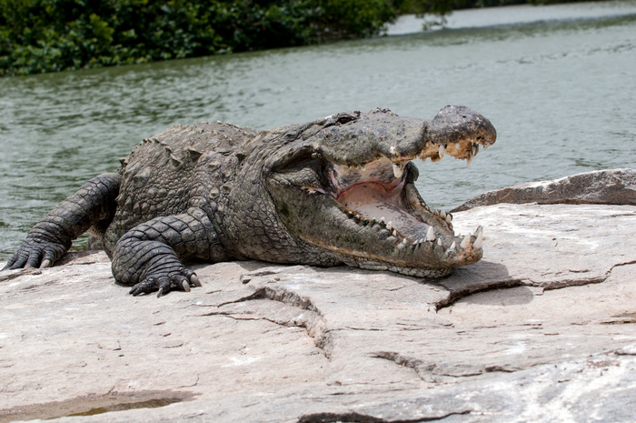 Photographer Captures Python Consuming Entire Crocodile in One Go