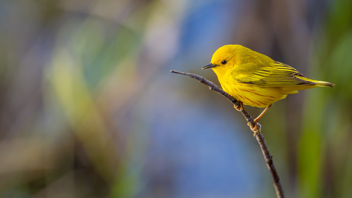 How I Edited This Yellow Warbler Bird Photo