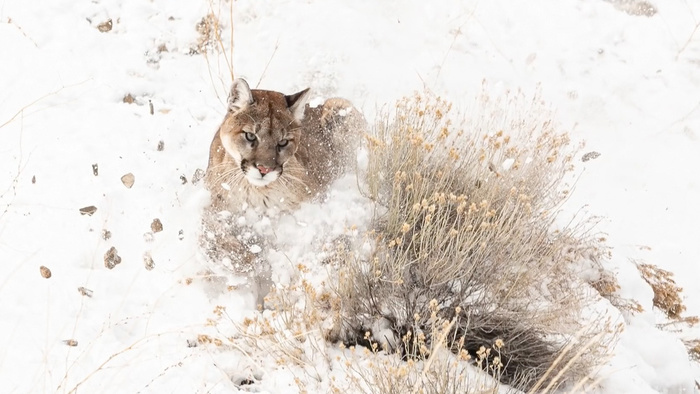 Wild Mountain Lion Photographed in Wyoming Town