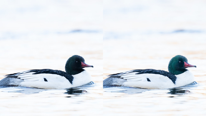 Bird Photo Editing: How to Recover Iridescent Colors
