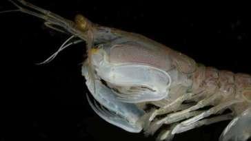 Étrangeté du vivant : la crevette-mante qui boxe ses proies