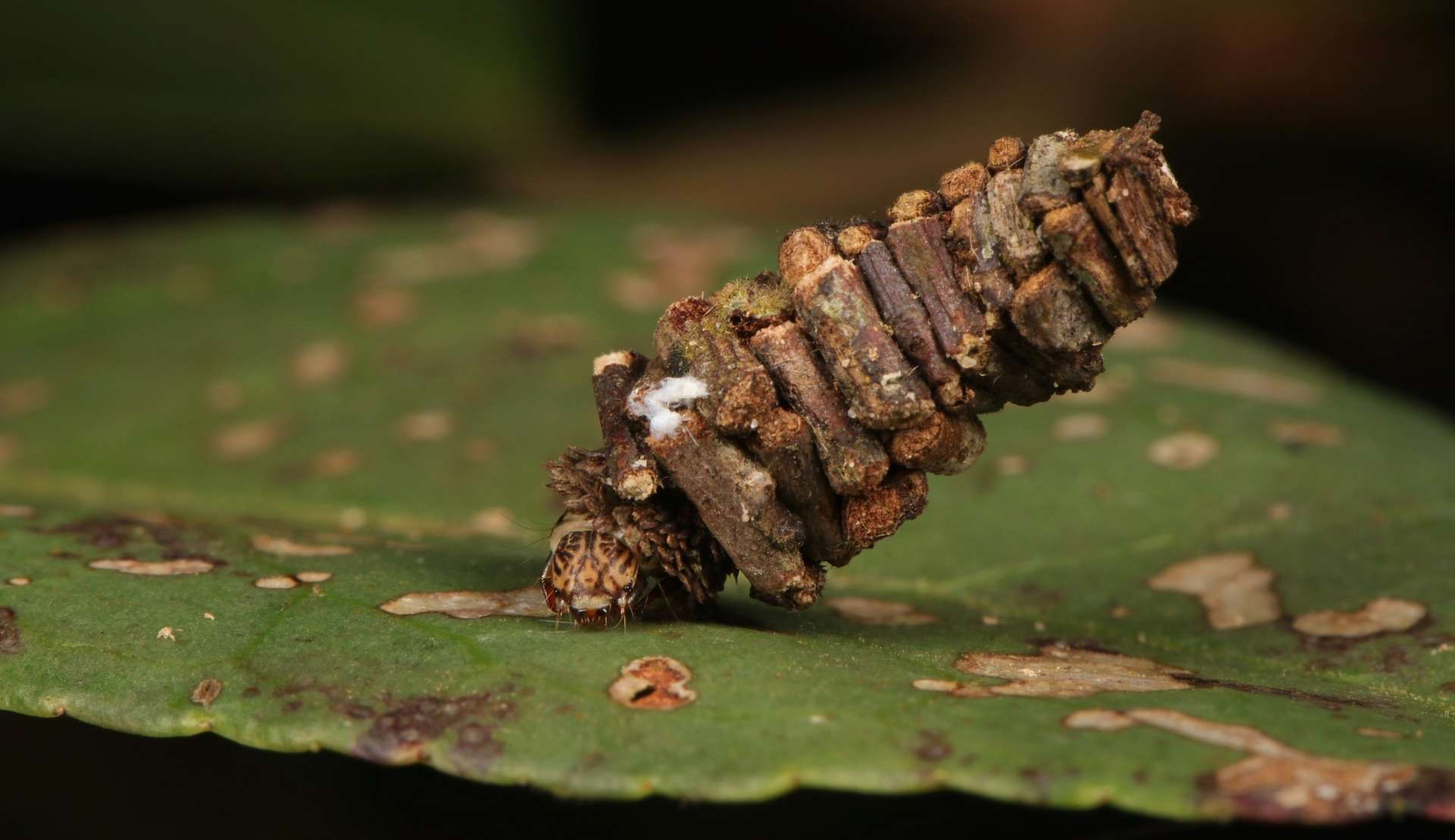 cet insecte transporte sa maison