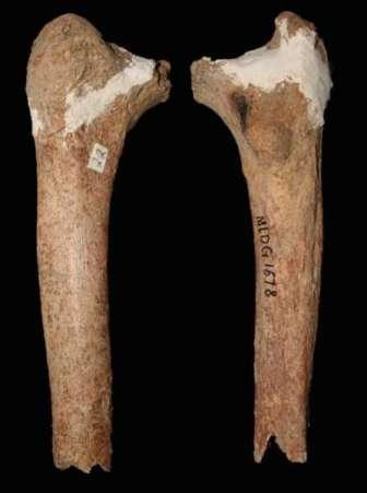 Les deux faces du fémur trouvé dans la grotte du cerf rouge, dans la région du Yunnan et daté de 14.000 ans. Ses caractéristiques (sa finesse notamment) et sa taille (petite) semblent bien éloignées de l'Homme moderne qui, à cette époque, en était à l'âge de pierre. © Darren Curnoe et Ji Xueping