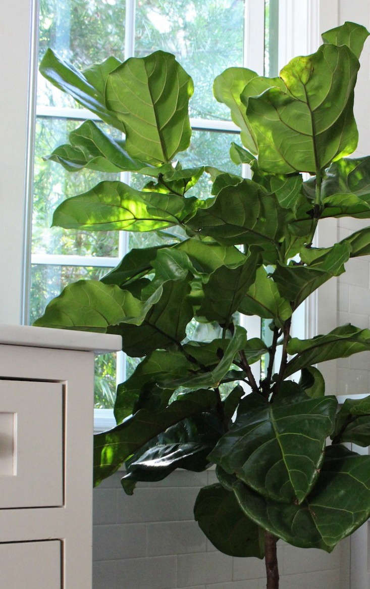 Best Kitchen Gallery: The Fig And I My First Fiddle Leaf Fig Tree Gardenista of Large Leaf House Plant Names on rachelxblog.com