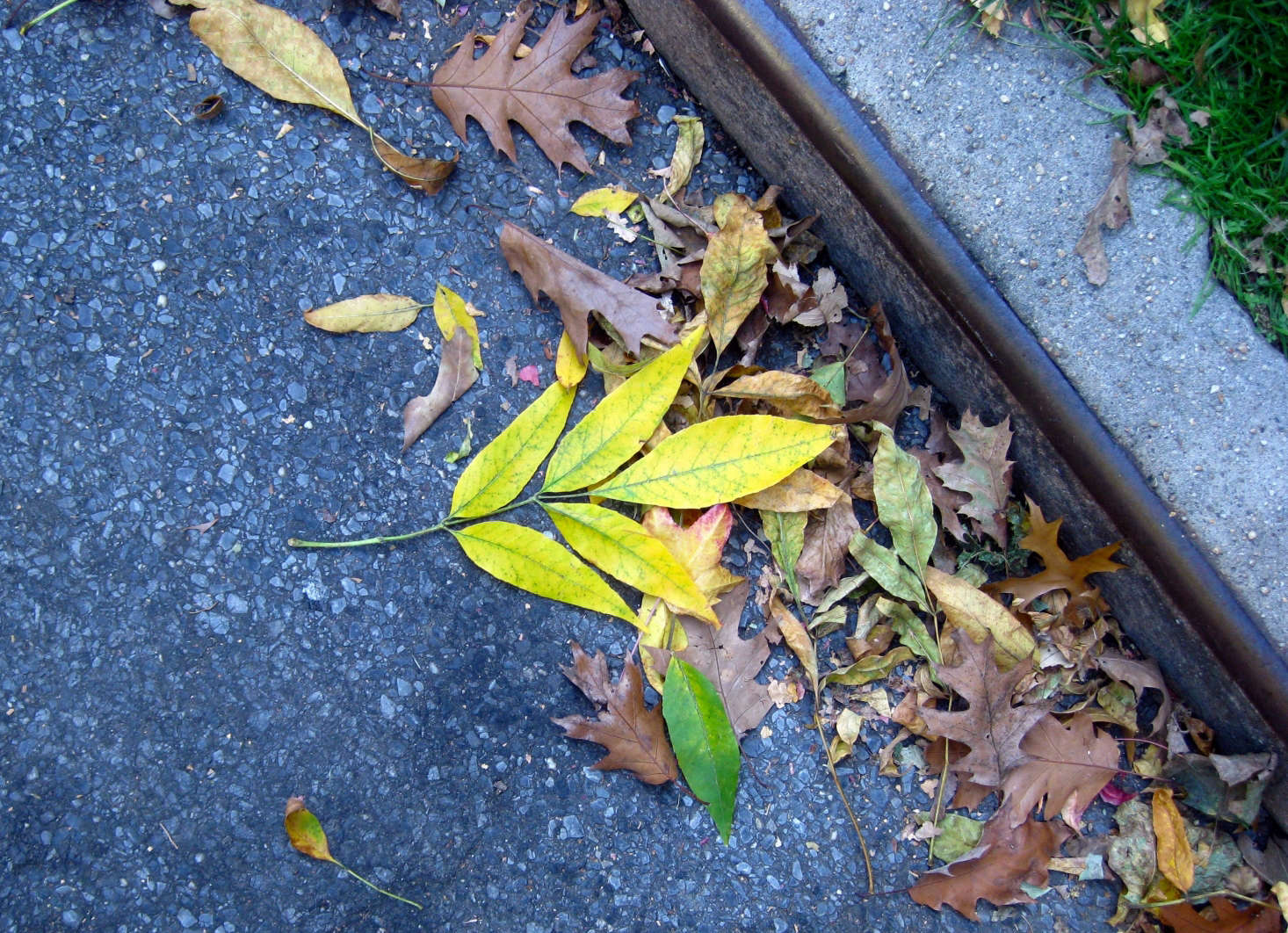 the leaves of the white ash tree turn a vivid yellow in autumn photograph by
