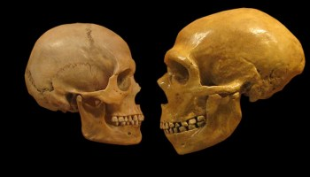 Human and Neanderthal skulls