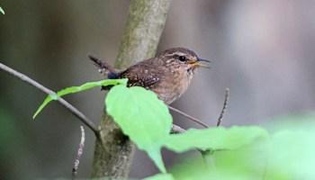 Suburban sprawl drives songbirds apart