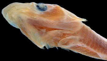 Scientists use 3-D scans to ID duckbilled fish species 40 years after it was caught