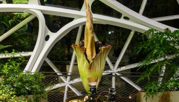 Ooooh, that smell is returning to Amazon Spheres as stinky new corpse flower is set to bloom again