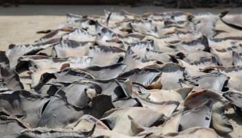 New tool to curb illegal trade of shark fins built with $322K in support from Paul Allen Philanthropies