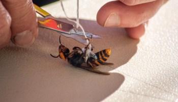 华盛顿大学的研究人员在大黄蜂身上安装了微型跟踪技术,以帮助州政府对付致命的害虫