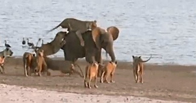 Il coraggioso elefantino