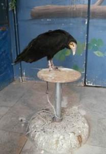 L'avvoltoio a testa gialla