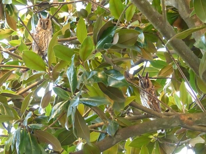 Gufo comune su magnolia_Fotor