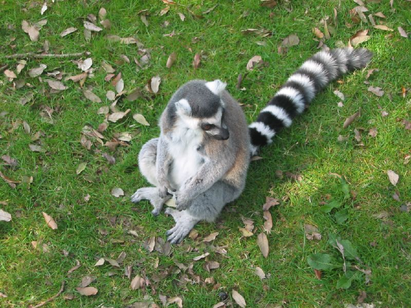 Fota\'s Lemurs