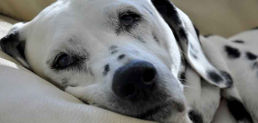Dalmatiner im Hundebett