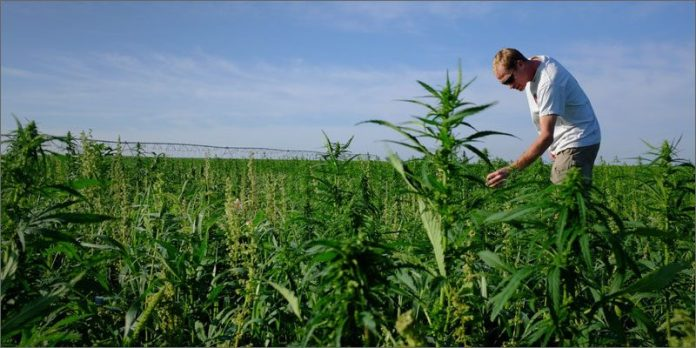 colorado creates first domestic hemp seed hero 21 Shocking Weed Facts That Will Make You Say OMG