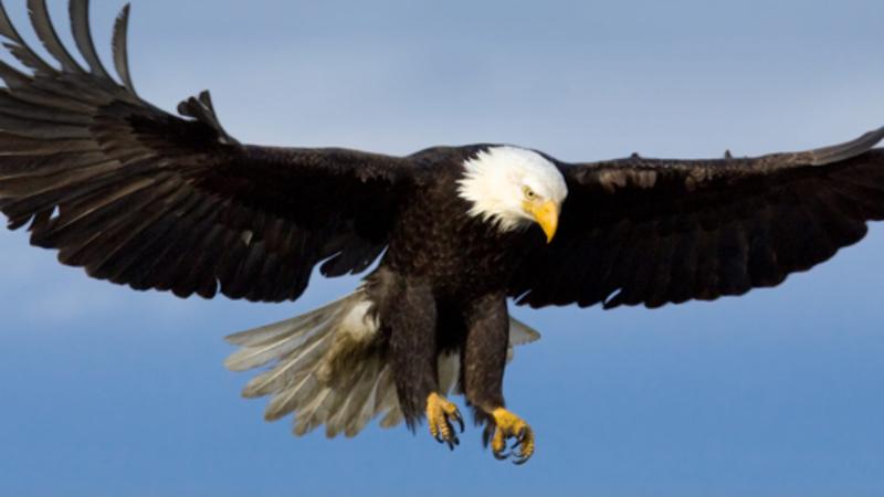 【bald eagle 】はどういう意味ですか? - 英語 (アメリカ)に関する ...