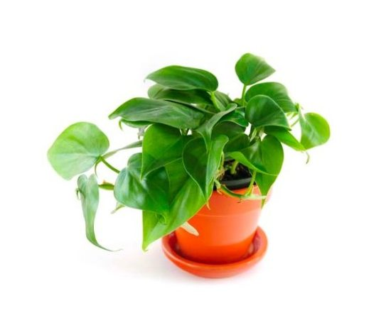 Heartleaf Philodendron low maintenance house plant