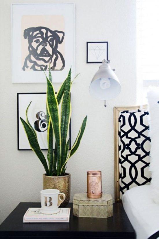 Sansevieria Laurentii indoor plants low light