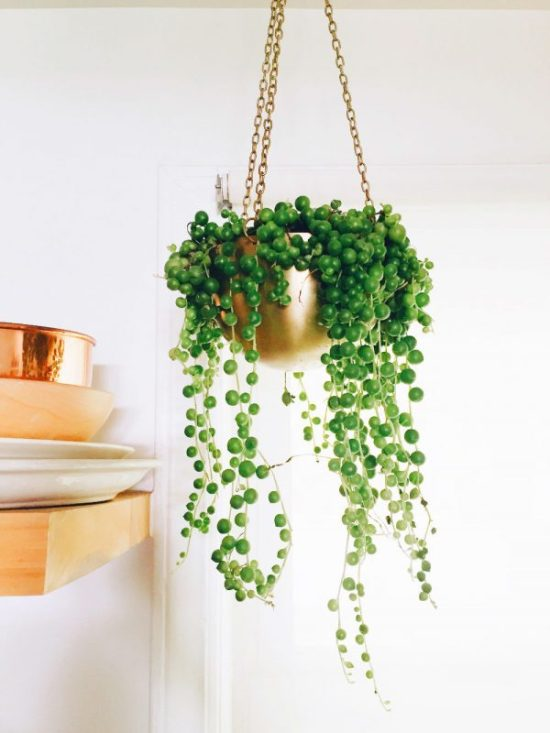 Senecio rowleyanus hanging house plant
