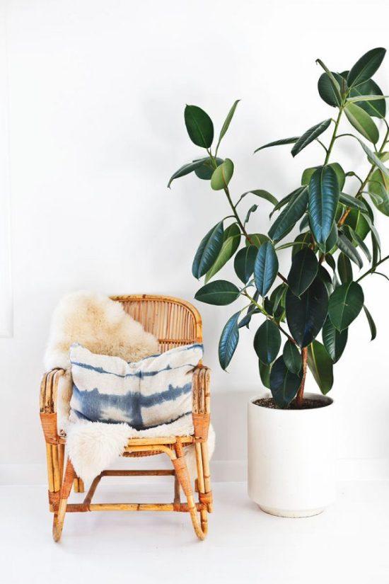 buy indoor plants Ficus elastica