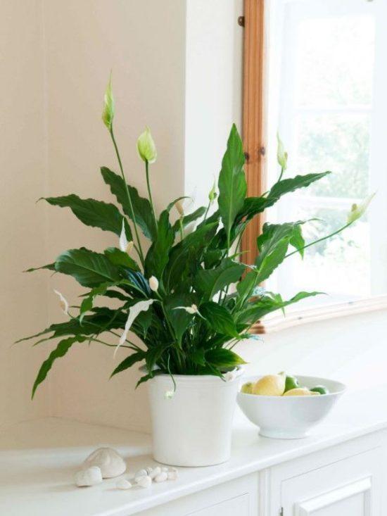 flowering house plants Spathiphyllum