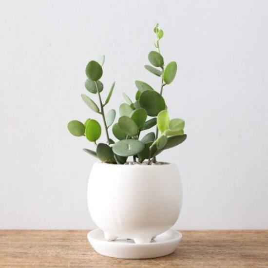 indoor plants Xerosicyos danguyi