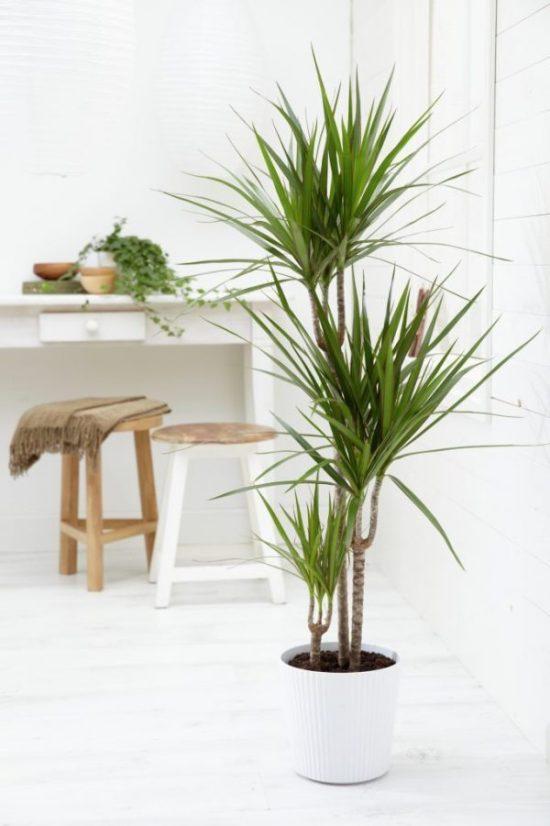 large indoor plant Dracaena marginata