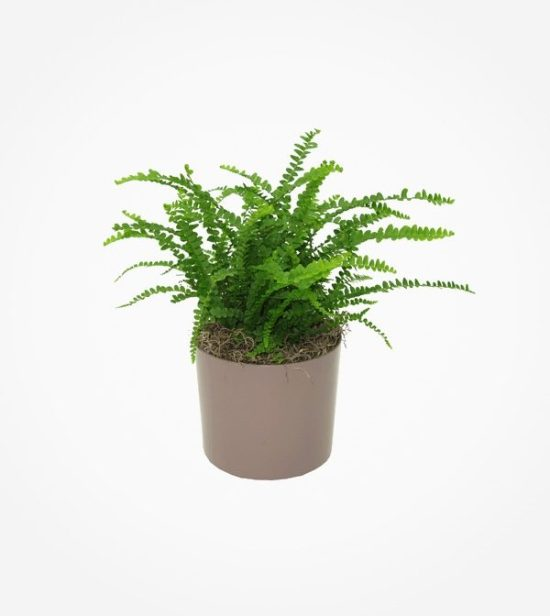 low maintenance fern Nephrolepis cordifolia
