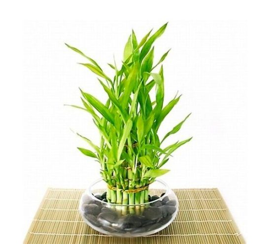 lucky bamboo plant for office