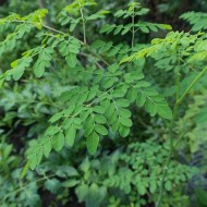 Find Out About The Properties and Benefits of Moringa in Your Health